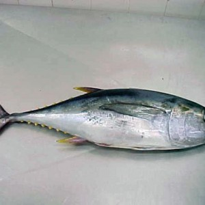 Рыба тунец фото