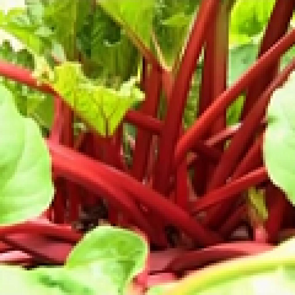 Красные стебли молодого ревеня