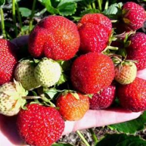 Свежая клубника фото ягода
