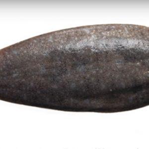 Как выглядит рыба морской язык