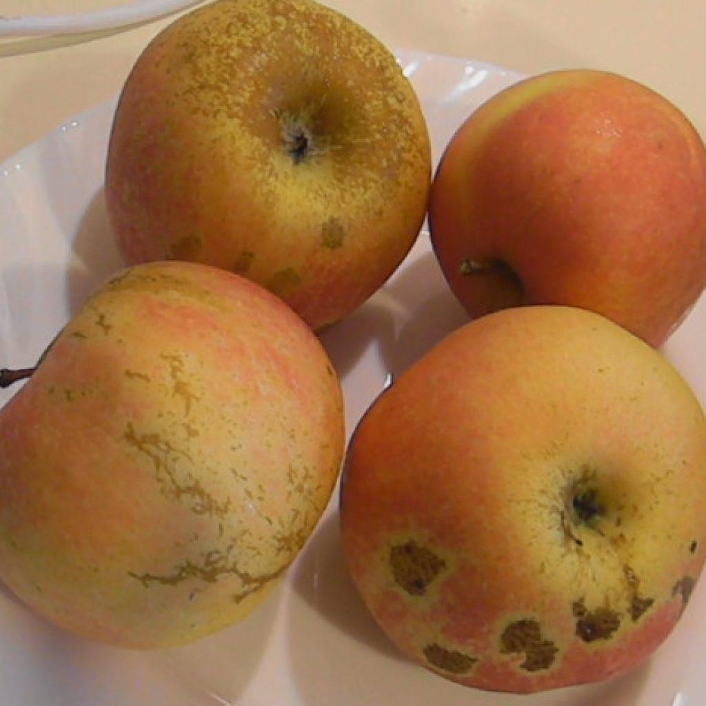 Яблоки кисло-сладкие на тарелке