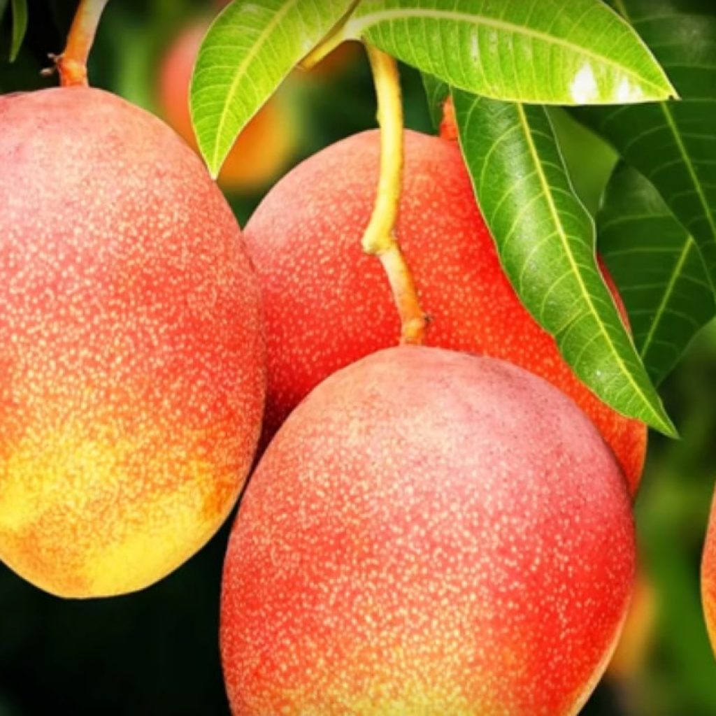Плоды манго на дереве